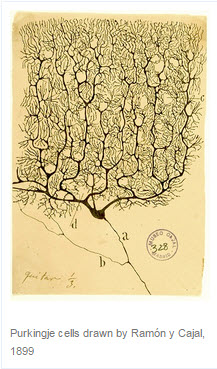 Purkingje cells drawn by Ramón y Cajal, 1899