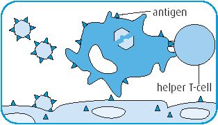 Macrophages carry particles of debris, called antigens, to a type of white blood cell called T-lymphocytes or T-cells