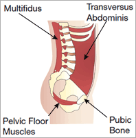 Diagram showing the location of the core stability muscles