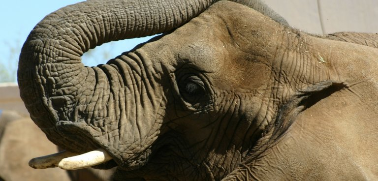 elephant looking forgetful