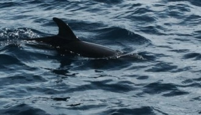 Dolphin in Atlantic Ocean